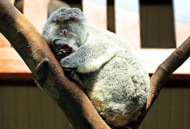 How Many Hours Do Koalas Sleep a Day